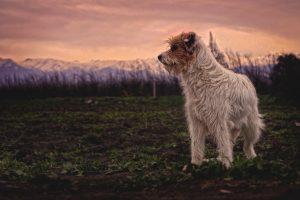 dog standing on a grass land
