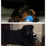 puppy black dog grows