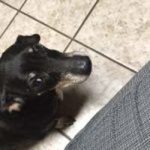 black dog glaring