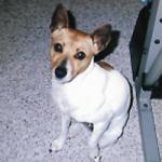 white dog white brown spot glaring