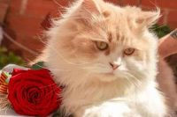 shiny persian cat