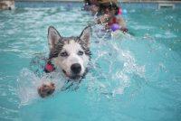 puppy siberian huskies